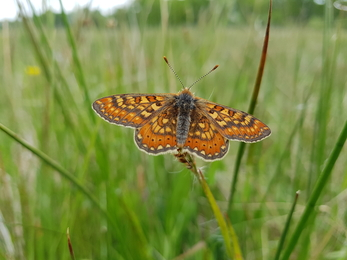 Marsh fritillary in north Hampshire