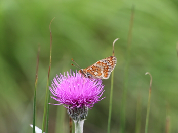 Marsh fritillary butterfly nectaring on meadow thistle
