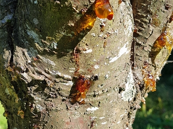 Resin oozing from tree bark.