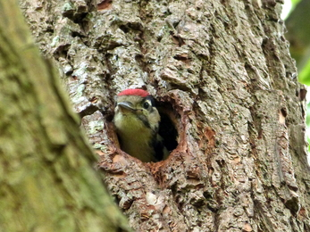 Lesser spotted woodpecker poking head out of hole in tree