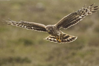Female hen harrier