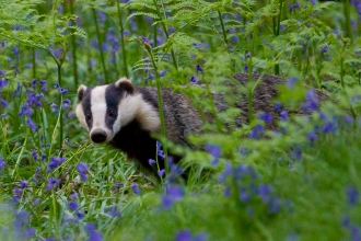 Badger © Dr David Williams