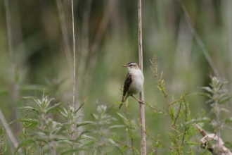 Sedge warbler at Fishlake Meadows © Tony Wright