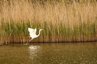 Great Egret at Testwood Lakes © James West