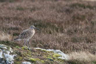 Curlew © Darin Smith