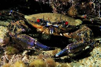 Velvet Swimming Crab
