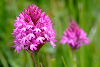 Pyramidal orchid © Mark Heighes