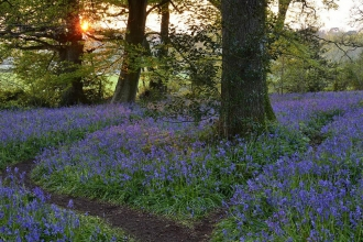 Bluebell woodland at sunset