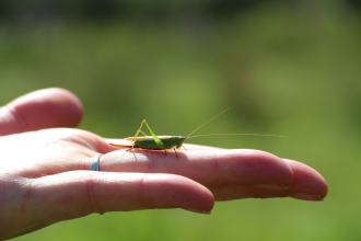 Cricket in the hand at St Cross meadow nature reserve