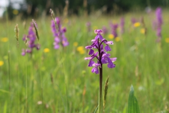 Green-winged orchids in a meadow
