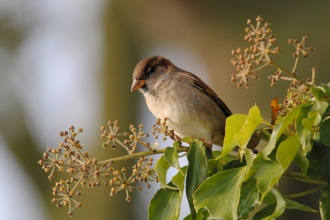 House sparrow in ivy