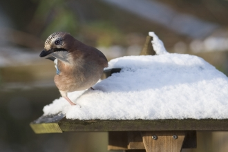 Jay on a bird table in the snow