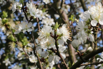 Spring blackthorn blossom