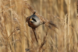 Bearded tit at Farlington Marshes