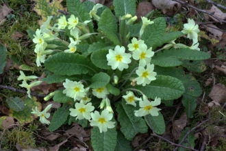 Primrose at Blashford Lakes nature reserve