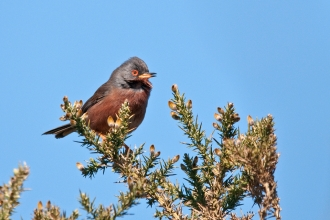 Dartford Warbler on gorse