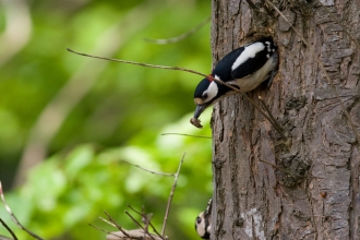 Great spotted woodpecker © David Kilbey