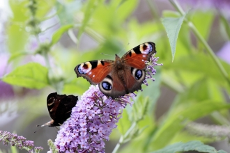 Peacock butterfly on buddleia © David Kilbey