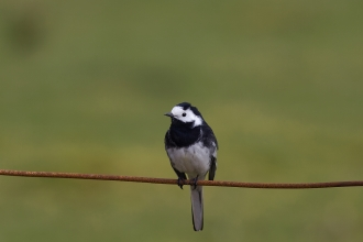 Pied wagtail on a fence