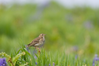 Meadow pipit © David Kilbey