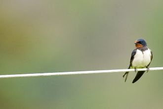 Swallow on line