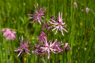 Ragged-robin © David Kilbey