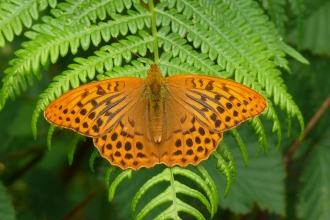 Silver washed fritillary © Graham Dennis