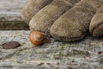 Banded snail and garden glove