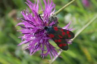 St Lawrence Field six spotted burnet moth