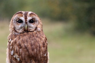 Tawny owl as part of a raptor display at Blashford Lakes