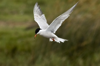 Common tern at Keyhaven Marshes
