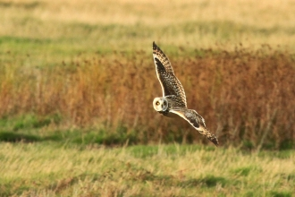 Short-eared owl at Farlington Marshes