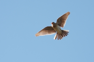 Skylark in flight