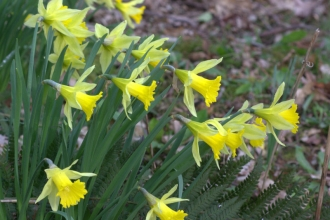 Wild daffodils at Blashford Lakes nature reserve