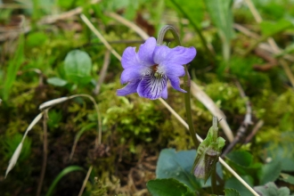 Common dog violet at Blashford Lakes nature reserve