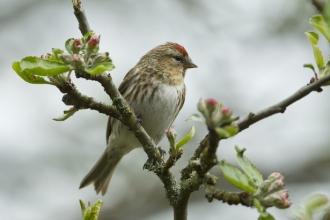Redpoll © Mark Hamblin/2020VISION