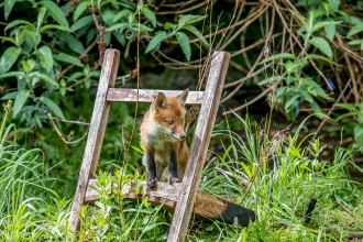 Fox cub on a step