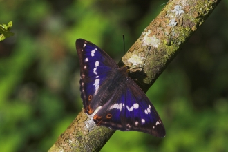 Male Purple Emperor - Thatcham - Pete Eeles, Butterfly Conservation
