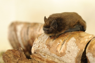 Pipistrelle bat by Amy Lewis ResourceSpaceID 61