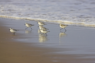 Sanderling © Mike Read