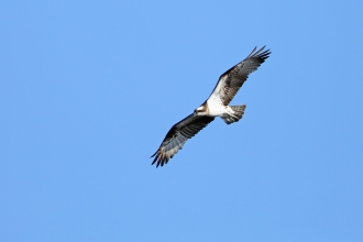 Osprey at Fishlake Meadows © Richard Jacobs