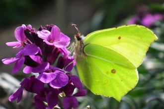 Brimstone Butterfly M on Bowles Mauve ©  Brian Fletcher