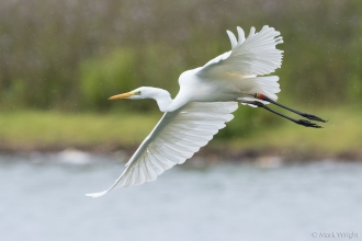 Walter,. great white egret, Blashford Lakes © MarkWright
