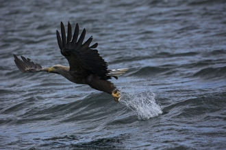 White tailed sea eagle by Mike Read
