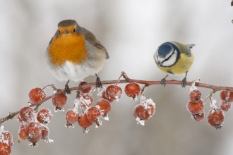 Robin and Blue Tit © Mark Hamblin 2020VISION