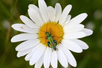 Swollen-thighed beetle (Oedemera nobilis) on ox-eye daisy in a meadow © Lianne de Mello