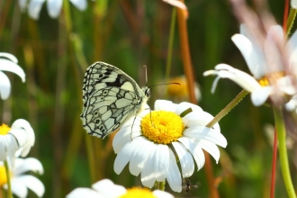 Marbled white on ox-eye daisy