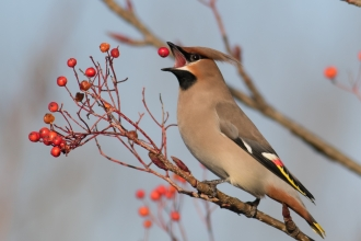 Waxwing by Trevor Codlin