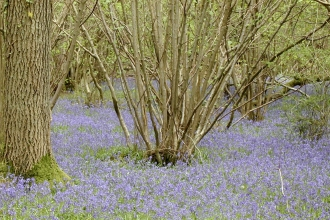 bluebells under hazel copse