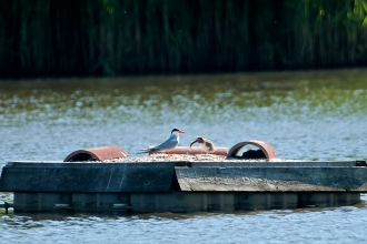 Common tern and chick on tern raft